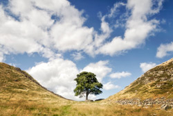 Hadrian's Wall - the Famous Tree